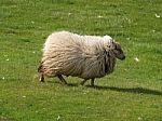 sheep-10051170